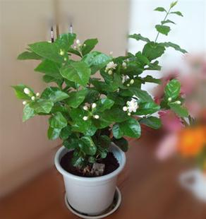 茉莉花绿植盆栽白茉莉虎头茉莉双色茉莉花苗室内庭院观花植物