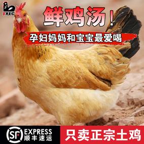 惠友正宗山林散养新鲜土鸡隔年老母鸡绿色原生态散养活鸡现杀