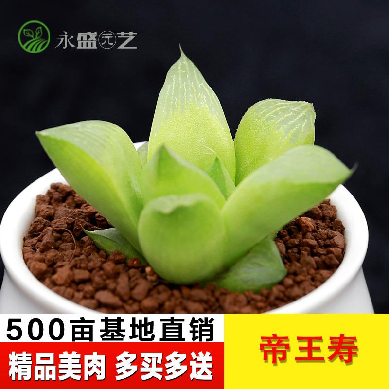 永盛园艺|韩国进口多肉植物 玉露帝王寿 组合盆栽绿植花卉满包邮