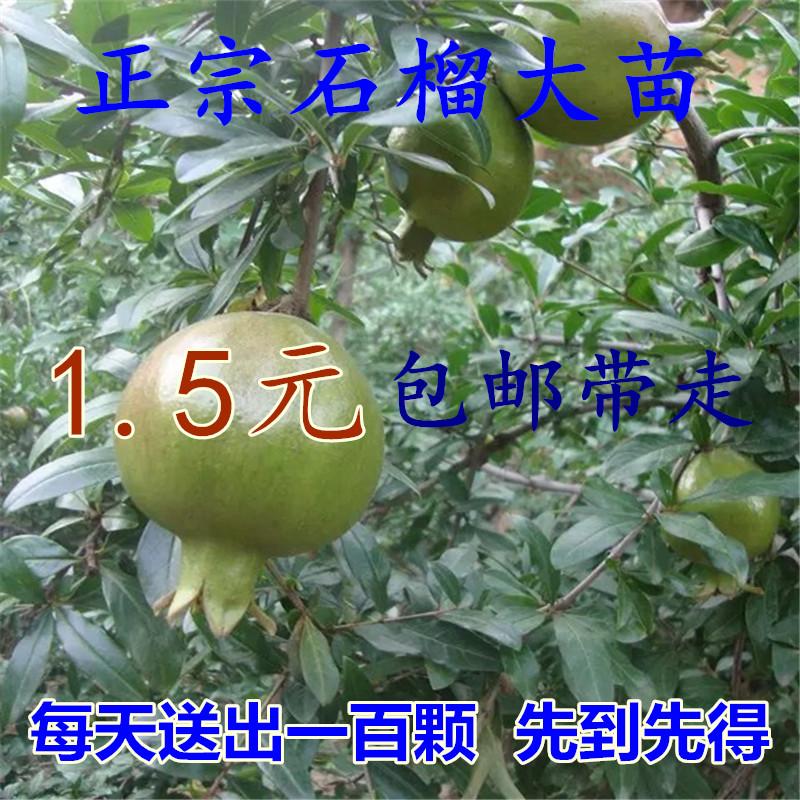 淘宝-正宗嫁接樱桃树苗盆栽樱桃苗果树苗车厘子当年 ...