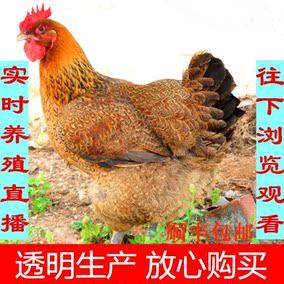 2年大别山杂粮放养笨鸡土鸡老母土鸡活鸡 农村稻谷散养鸡走地鸡