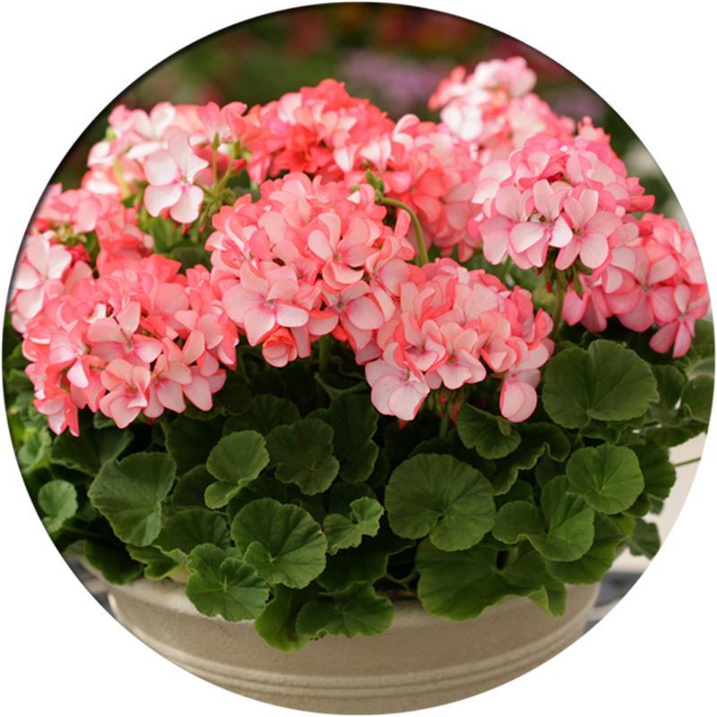 进口天竺葵种子春播四季易种室内花卉种子阳台盆栽秋播多年生花籽