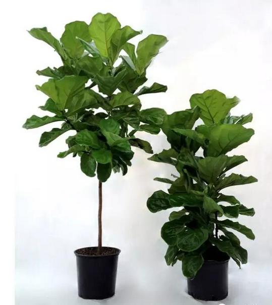 somi 琴叶榕 橡皮树室内高档观叶植物绿植盆栽 带瓷盆销售北京