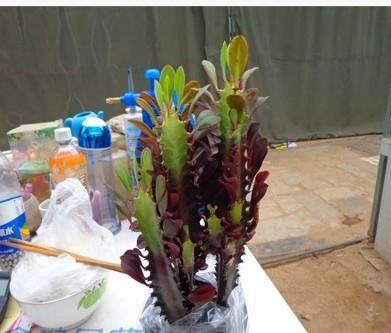 花卉盆栽红宝石龙骨 紫龙骨巴西龙骨 净化空气防辐射多肉植物盆景