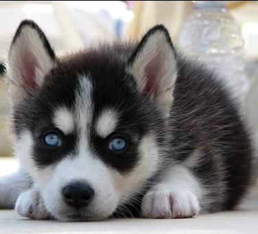 纯种哈士奇 雪橇犬 二哈双蓝眼三把火哈士奇 幼犬家庭犬 宠物狗狗
