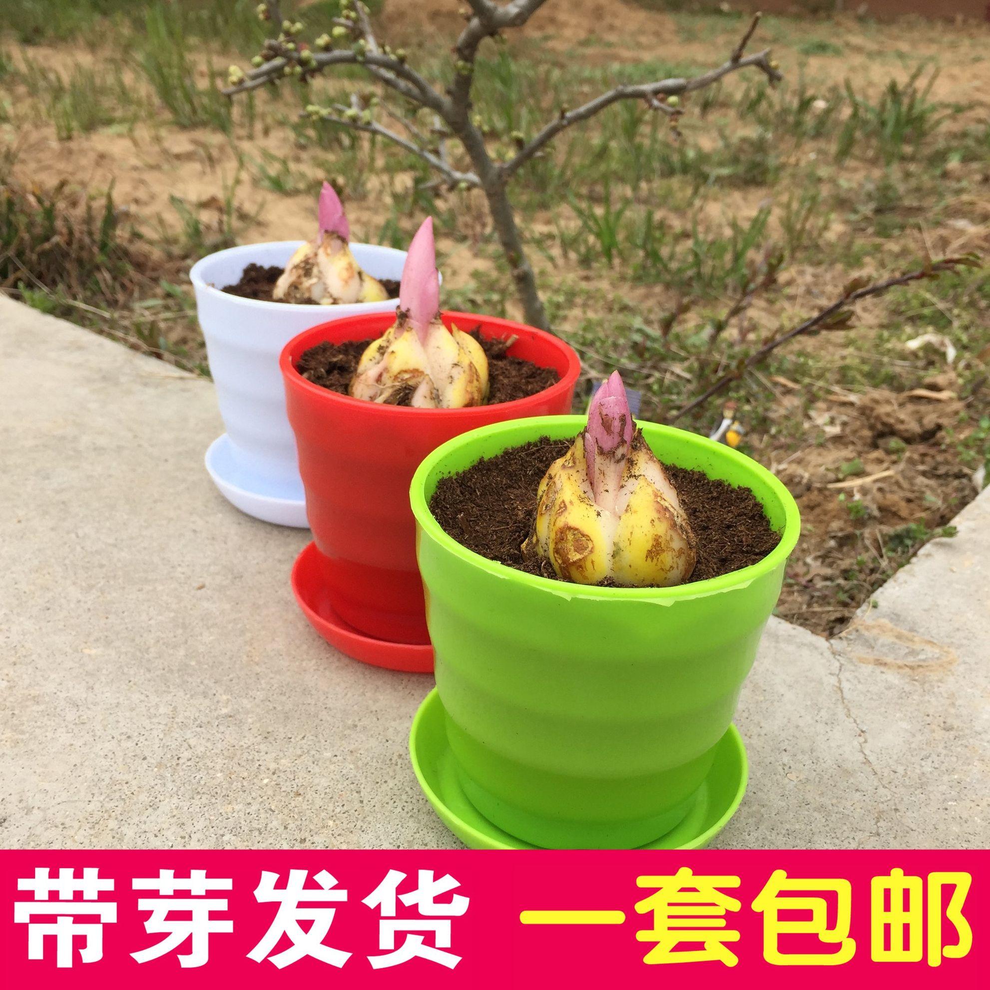 进口香水百合种球百合花种球百合花苗 绿植盆栽花卉植物含盆套餐