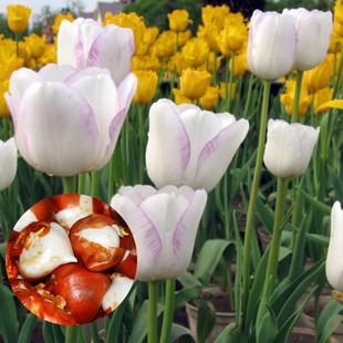 荷兰进口郁金香种球 观花植物盆栽花卉 多色可选 十个9.9元包邮