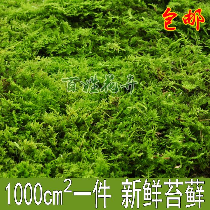 现采野生青苔水苔 兰花铺面活苔藓 盆面微型植物 乌龟假山微景观