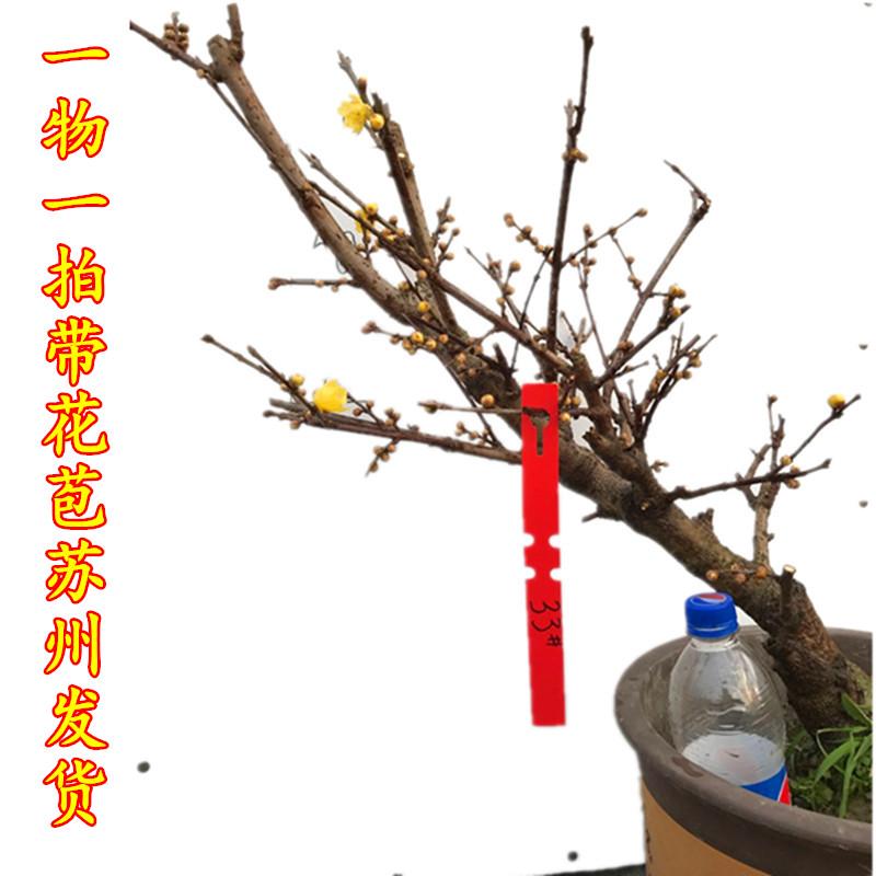 腊梅花一物一拍腊梅树苗冬季开花浓香素心腊梅盆景桩带花苞红梅花