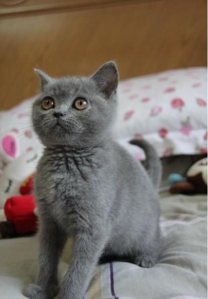 英国短毛猫/英短蓝猫/蓝猫/纯种猫/宠物猫/短毛猫/萌萌家的猫