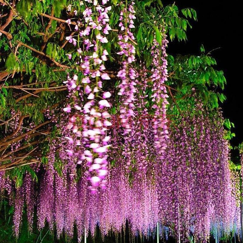 庭院花卉 多花紫藤花苗 紫藤树紫藤萝紫藤苗爬藤植物 攀援速度快