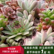盛天下 迷你桌面 多肉植物 裸根不含盆 多肉 绿植花卉小盆栽LG1