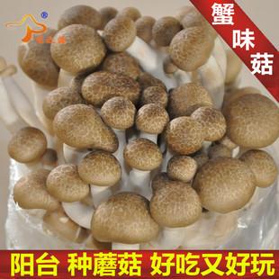蟹味菇菌种菌包平菇食用蘑菇农产品多肉植物阳台包邮味之源菌业