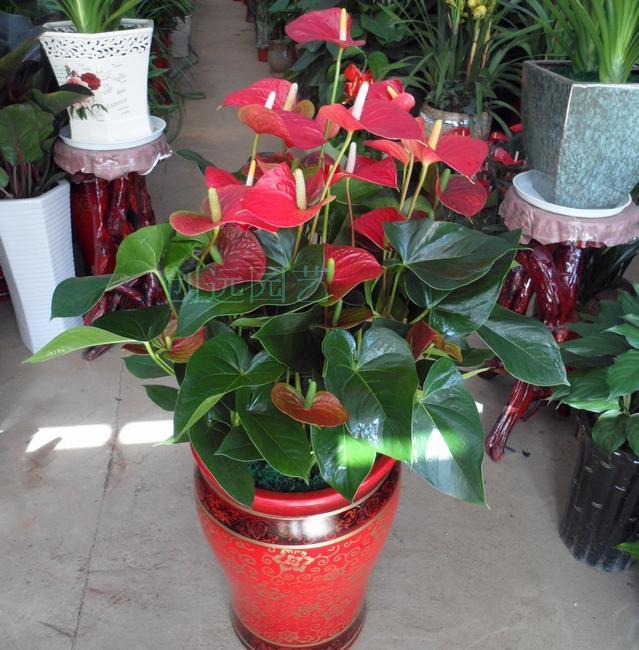 红掌长沙株洲湘潭花卉绿植盆栽配送速递室内家庭桌面鲜花开花礼品