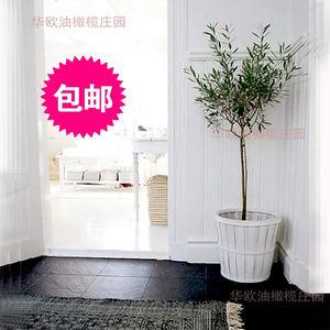 华欧油橄榄树苗花盆栽4-5年龄棒棒糖树形 庭院室内盆景 包邮