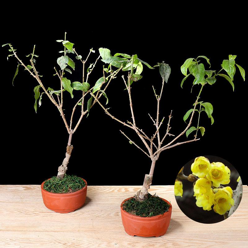 嫁接腊梅苗 素心腊梅 黄色梅花 浓香型绿植花卉盆栽 冬季开花
