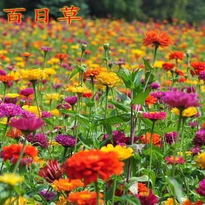 百日草穜子百日草花穜子四季播种易活太阳花穜子景观花卉穜子