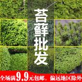 苔藓植物微景观生态瓶水陆缸雨林缸DIY白发人工大棚培育新鲜苔藓