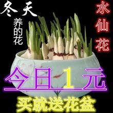 水仙种球种子桌面花卉绿植盆栽室内水培植物漳州复瓣洋水仙花苗