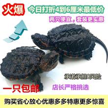 乌龟活体北美小鳄龟活体鳄鱼龟杂佛鳄龟大龟苗宠物龟观赏龟水龟