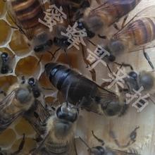 箱蜂 笼蜂 蜂群 中蜂种王 蜜蜂 2017新开产王 贵州平坝中蜂王种