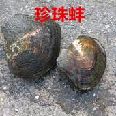 现捞现发天然淡水珍珠蚌10年珍珠大河蚌养殖场包邮珍珠河蚌