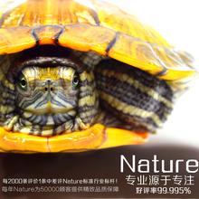 黄金巴西龟活体宠物龟情侣龟乌龟水龟招财龟小乌龟活体一对 包邮