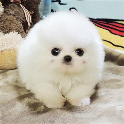 纯种球体博美犬 茶杯犬 幼犬袖珍长不大迷你俊介犬 小型宠物狗狗