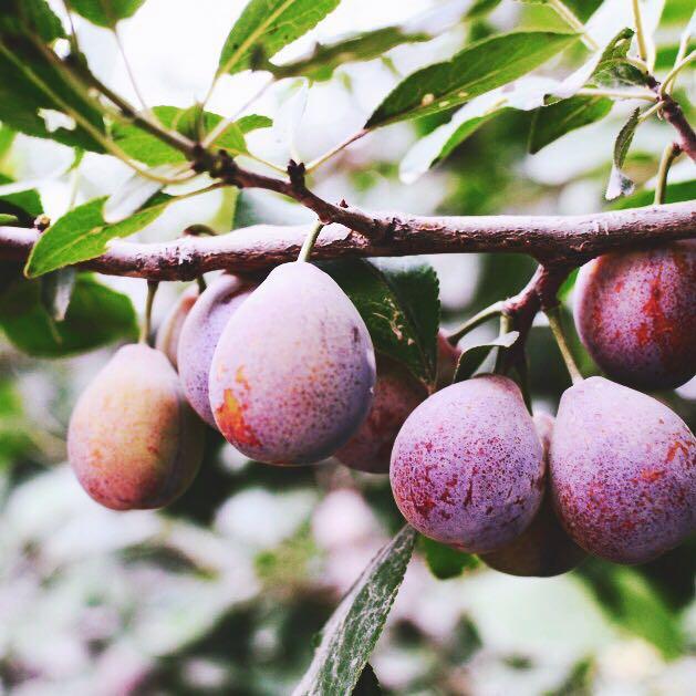 【一号冰川】新疆西梅水果新鲜孕妇鲜果 喀什美国法兰西李子梅子