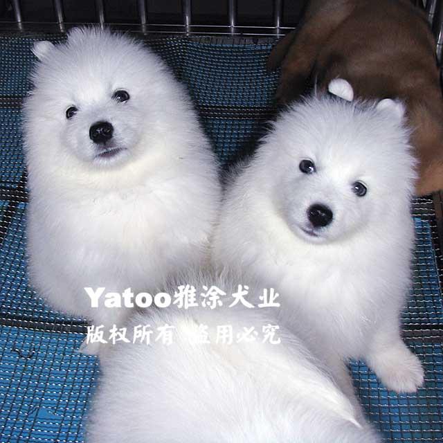 纯白色尖嘴犬银狐犬-聪明听话可爱-公?宠物活体小