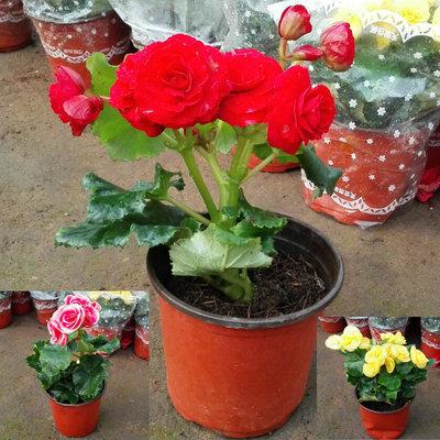 进口丽格海棠玫瑰海棠盆栽花卉 四季秋海棠花苗重瓣带花发货包邮