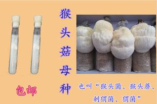 食用菌菌种猴头菇菌蘑刺猬菌菇种母种一级菌种特价包邮代购热卖