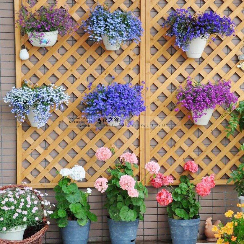 花种子四季易活 翠蝶花种子 半边莲种子 阳台吊兰
