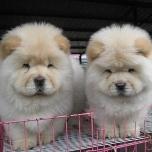 纯种松狮犬价格图片_【白色 狗狗】价格 参数 最新报价_狗狗图片-好牌子商城网
