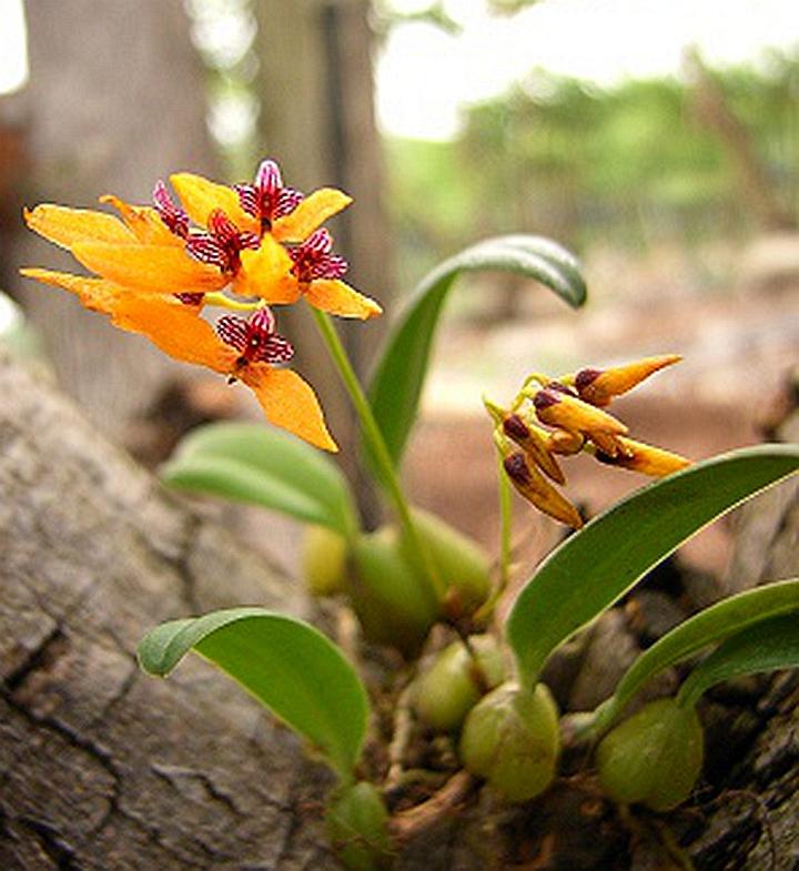 兰花 石豆兰 大豆 野生兰花石斛兰 附生植物生命力顽强 趣味珍品