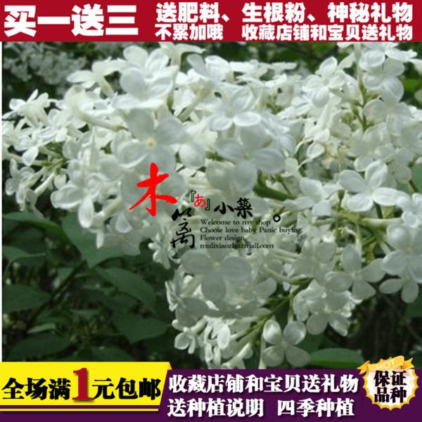 【白丁香】庭院盆栽花卉植物